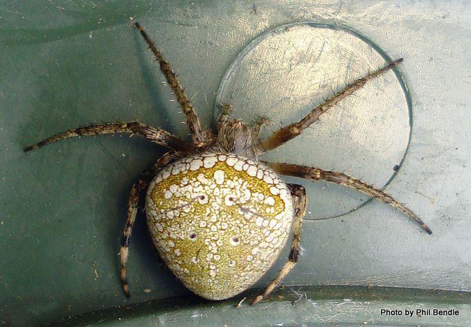 Cryptic orbweb spider family Araneidae-9.JPG