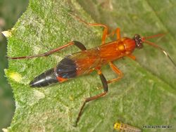 Phil Bendle Collection:Wasp (Black-tipped orange ichneumon) Ctenochares bicolorus