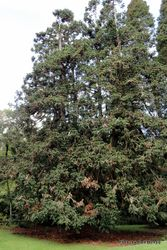 Phil Bendle Collection:Cunninghamia konishii (Taiwan fir.)