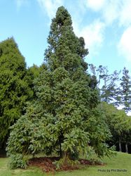 Phil Bendle Collection:Cunninghamia lanceolata (China-fir)