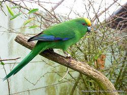 Phil Bendle Collection:Parakeet (Orange fronted) Cyanoramphus malherbi