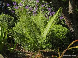 Phil Bendle Collection:Cycas taitungensis (Emperor Sago)