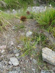 Phil Bendle Collection:Cyperus congestus (Purple umbrella sedge)