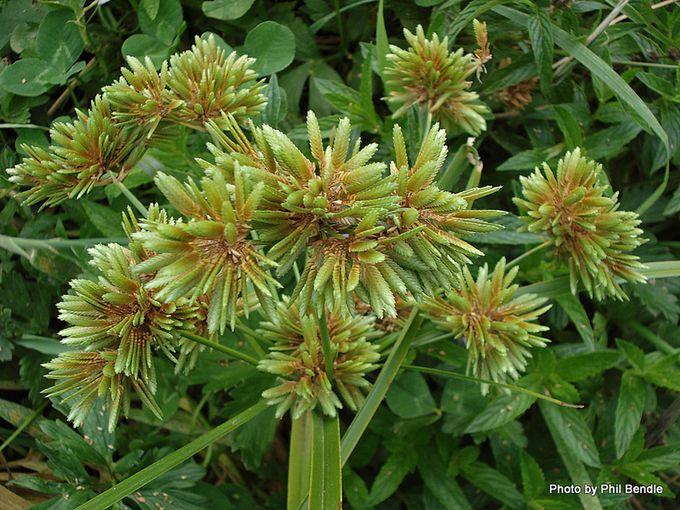Cyperus eragrostis Umbrella sedge-1.JPG