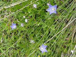 Phil Bendle Collection:Campanula rotundifolia (Harebell)