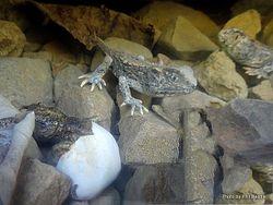Phil Bendle Collection:Tuatara (Sphenodon punctatus) Cook Strait tuatara.