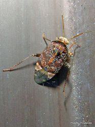 Phil Bendle Collection:Bug (Plant bug) Wekamiris auropilosus