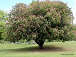 Phil Bendle Collection:Aesculus x carnea (Red horse-chestnut)