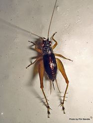 Phil Bendle Collection:Crickets