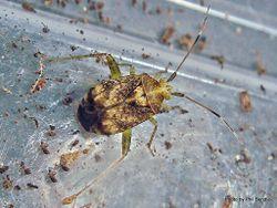 Phil Bendle Collection:Bug (Australian Crop Mirid) Sidnia kinbergi