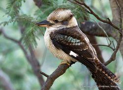 Phil Bendle Collection:Kookaburra (Dacelo novaeguineae)