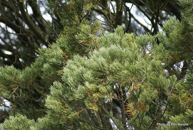Dacrycarpus dacrydioides Kahikatea White Pine.JPG
