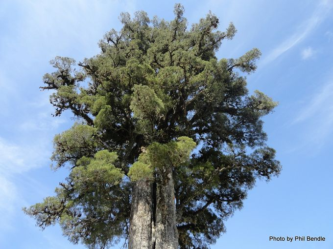 Dacrycarpus dacrydioides Kahikatea White pine -004.JPG