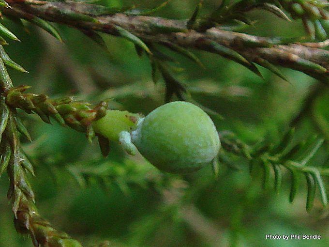 Dacrycarpus dacrydioides early seed capsule -002.JPG