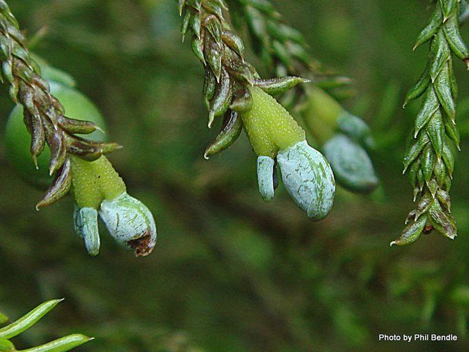 Dacrycarpus dacrydioides early seed capsule .JPG