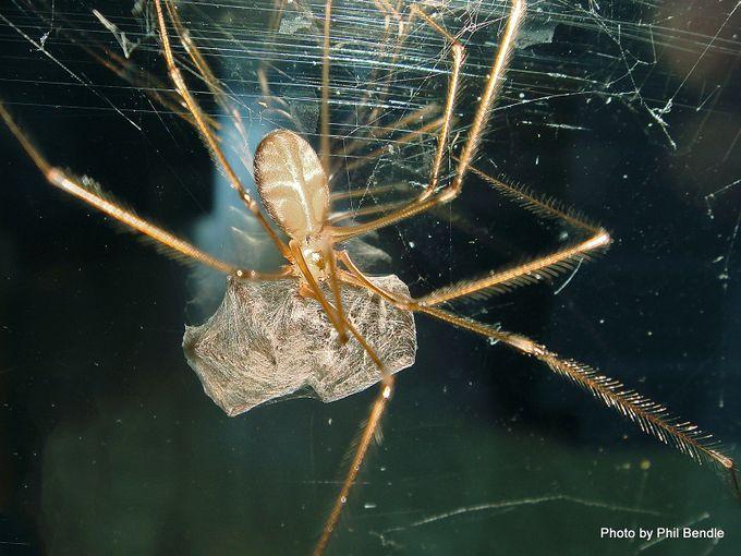 Daddy longlegs spider Pholcus phalangioides-001.JPG