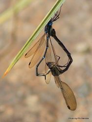 Phil Bendle Collection:Damselfly (Blue Green) Austrolestes colensonis