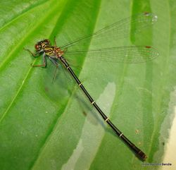 Phil Bendle Collection:Damselfly & Dragonfly Info