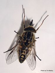 Phil Bendle Collection:Fly (Horse fly) Genus Dasybasis