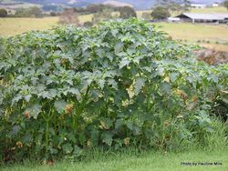 Phil Bendle Collection:Datura stramonium (Jimsonweed)