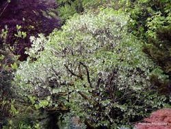 Phil Bendle Collection:Davidia involucrata (Handkerchief tree)