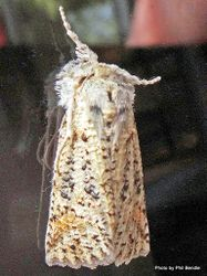 Phil Bendle Collection:Declana floccosa (Forest semilooper moth)