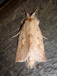 Phil Bendle Collection:Declana leptomera (Spotted manuka moth)