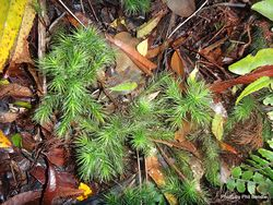 Phil Bendle Collection:Dendroligotrichum dendroides (Giant moss)