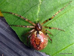 Phil Bendle Collection:Cobweb spider (Diamond Comb-footed) Cryptachaea veruculata