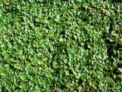 Phil Bendle Collection:Dichondra repens (Mercury Bay weed)
