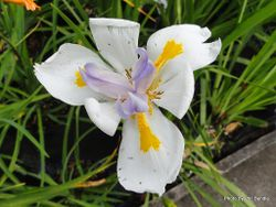 Phil Bendle Collection:Iris (Fairy) Dietes grandiflora