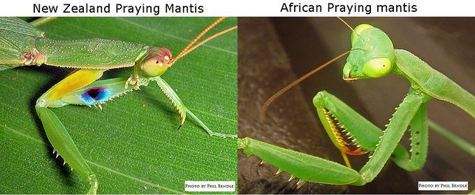 Difference between Praying mantis in NZ.jpg