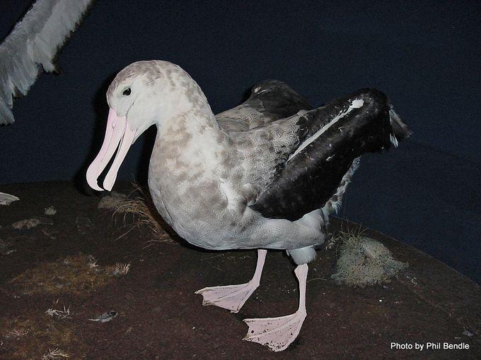 Diomedea exulans Wandering Albatross.JPG