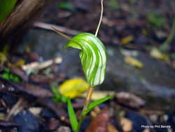Phil Bendle Collection:Pterostylis alobula (Greenhood) was Diplodium alobulum