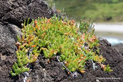 Phil Bendle Collection:Disphyma australe subsp. australe (Horokaka)