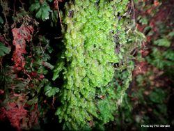 Phil Bendle Collection:Distichophyllum pulchellum var. pulchellum
