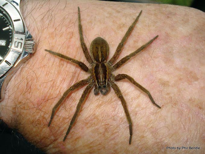 Dolomedes minor Nursery Spider-11.JPG