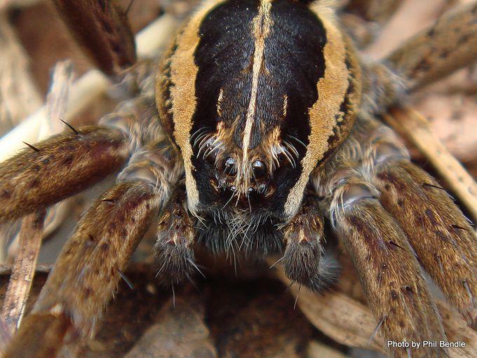 Dolomedes minor Nursery Spider.JPG