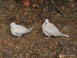 Phil Bendle Collection:Dove (Family Columbidae)