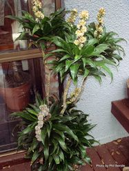 Phil Bendle Collection:Dracaena fragrans 'Janet Craig'