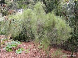 Phil Bendle Collection:Dracophyllum filifolium (Needle-leaf grass tree)