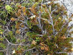 Phil Bendle Collection:Dracophyllum politum
