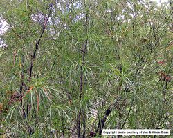 Phil Bendle Collection:Dracophyllum sinclairii (Gumlands grass tree)