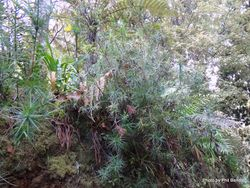 Phil Bendle Collection:Dracophyllum strictum (Totorowhiti)