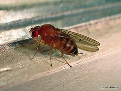 Phil Bendle Collection:Fly (Fruit) Drosophila melanogaster
