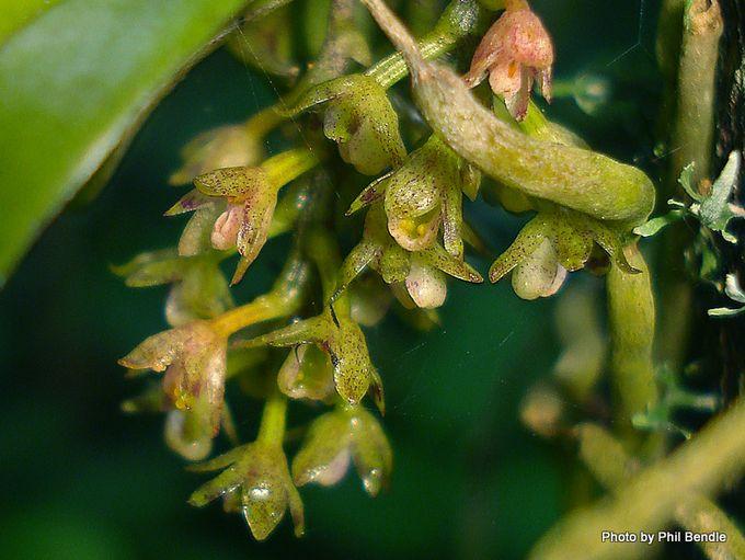 Drymoanthus adversus Green Fleshy Tree Orchid-3.JPG