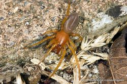 Phil Bendle Collection:Slater spider (Dysdera crocata)