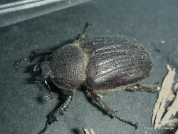 Phil Bendle Collection:Beetle (Stag) Dendroblax earlii