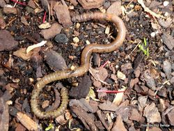 Phil Bendle Collection:Worms (Family Lumbricidae) Unnamed