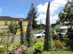 Phil Bendle Collection:Echium pininana (Pride of Tenerife)